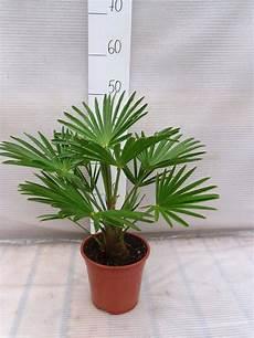 bol trachycarpus wagnerianus 35 cm incl 248 17cm pot