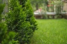 Wie Schnell W 228 Chst Die Thuja 187 Das Wachstum Vom Lebensbaum