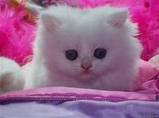 pink kitten wallpaper cat images white kitten who likes the color pink cats