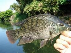 Sukses Budidaya Ikan Nila Jangan Sepelekan 3 Hal Dasar Ini