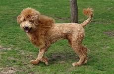 image result for types of goldendoodle haircuts cute goldendoodle haircuts that will make you swoon