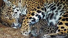 rewilding argentina moves forward with the first birthday of ibera s jaguar cubs news from