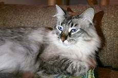 ragdoll mix maine coon ragdoll mix cats pets maine coon ragdoll