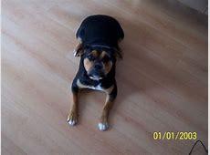 Cleo (Amerikanischer Staffordshire Terrier, Chow Chow