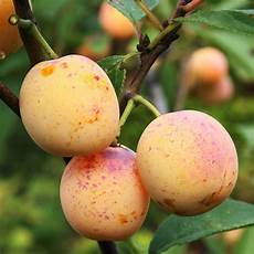 Mirabelle De Nancy Southern Fruit Trees