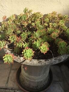 plante succulente entretien des succulentes de toutes les couleurs succulentissime