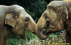 Malvorlage Indischer Elefant Indischer Elefant Geschwisterliebe Foto