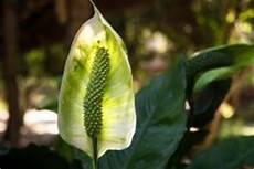 Einblatt Lässt Blätter Hängen - einblatt bekommt braune bl 252 ten 187 so verl 228 ngern sie die