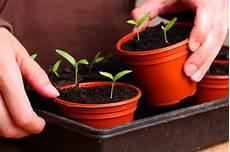 tomaten s 228 en 187 so gelingt die aussaat kinderleicht