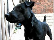 Tron the Don   Patterdale Terrier Pup   YouTube
