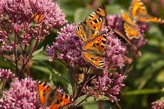pflanzen für bienen und schmetterlinge staudenpflanzen f 252 r bienen schmetterlinge taspo de