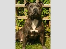 American Pitbull Terrier A Vendre WK03   Jornalagora