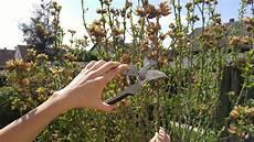 hibiskus hochstamm schneiden hibiskus schneiden tipps tricks f 252 r den perfekten