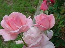 Gambar Bunga Mawar Terindah Dan Terbaru9
