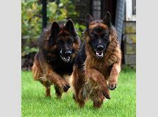 Super Langharige Duitse Herder Pups Te Koop XW23   Belbin.Info