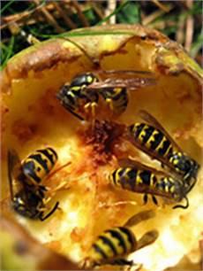Wespen Vertreiben Hausmittel - wespen vertreiben mit einfachen hausmitteln wird die