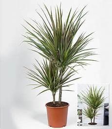 winterharte k 252 bel palme 2er set chinesische hanfpalme