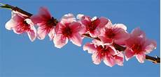 sfondi fiore gocce di note fiori rosa fiori di pesco lucio battisti
