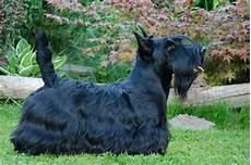 scottish terrier prix scottish terrier