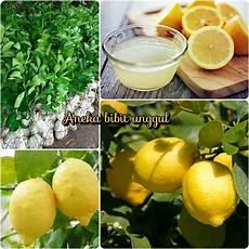 Jual Bibit Jeruk Lemon Import Amerika Di Lapak Aneka Bibit