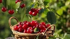 Kirschen Pflanzen Gt Garten Ratgeber