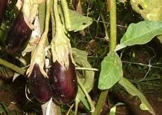 coltivazione melanzane in vaso le mini melanzane da antipasto si possono coltivare anche