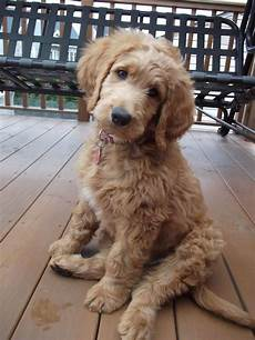 types of goldendoodle haircuts google search pretty image result for types of goldendoodle haircuts puppies goldendoodle puppy pets