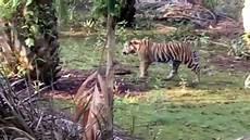 Serem Ada Harimau Berkeliaran Di Permukiman Warga