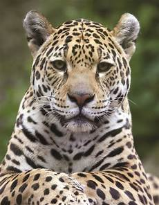northern jaguars over a decade of field observations in the mexico us borderlands desert diaries