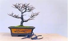 bonsai richtig pflegen bonsai richtig umtopfen bonsai bonsai pflege