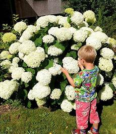 hortensien umpflanzen september schneeball hortensie quot annabelle quot 1 pflanzen hortensien