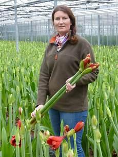 amaryllis pflege im sommer amaryllis braucht drei jahre pflege bis zur ersten bl 252 te