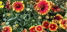 fleur vivace plein soleil fleur vivace plein soleil