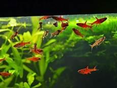 Gambar Ikan Hias Kecil Unik Dan Cantik Hidup Bergerombol