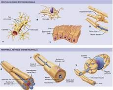 nervous system cells basicmedical key