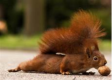 eichhörnchen kot bilder file eichh 246 rnchen in heilbronn jpg wikimedia commons