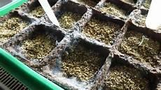 pflanzen gegen schimmel tomaten aus samen selber ziehen anleitung vom samen bis