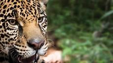 sur la terre des jaguars le jaguar une esp 232 ce prioritaire wwf