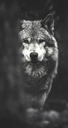 Wolf Wallpaper Android Hd wolf backgrounds wallpapers images design trends premium
