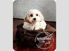 Pixie   Adopted Dog   Omaha, NE   Bichon Frise/Yorkie