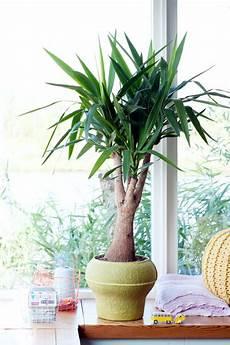 yucca palme zurückschneiden landmarkt lentzen in schwalmtal seite 26 35 beet