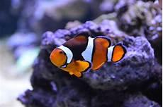 Daftar Harga Ikan Nemo Terbaru Agustus 2019 Lengkap