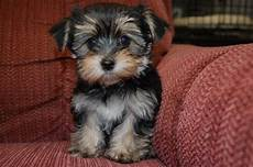 photolove morkie puppies cut lovely cool photo of the day