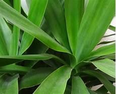 palme umtopfen wurzeln abschneiden yucca palme vermehren 187 so gelingt s am besten palmlilie