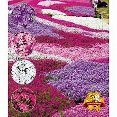 Phlox Mix Quot Flowers Of The Sea Quot 4 Pflanzen