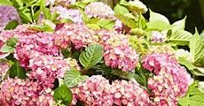 hortensien richtig schneiden und pflegen hortensien