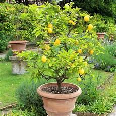 citronnier des 4 saisons pot de 2 litres hauteur 20 30 cm