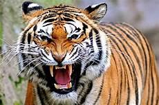 Harimau Sumatera Mengaum Alamendah S