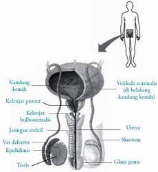 Testis Pada Pria Fungsi Struktur Pengertian Bagian Anatomi