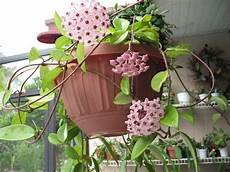 piante di fiori plantfiles pictures krimson princess hoya wax plant